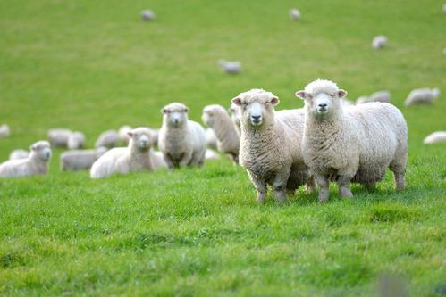 羊群得了传胸怎么办? 第1张